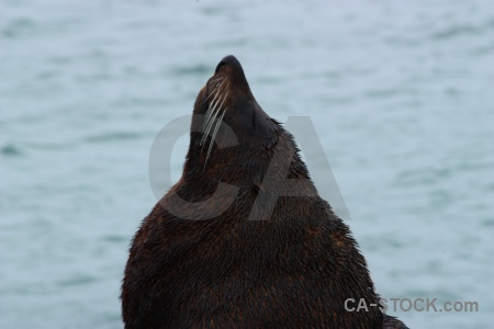 New zealand animal seal water whisker.