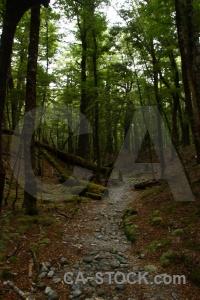 New zealand forest tree lake sylvan trek path.