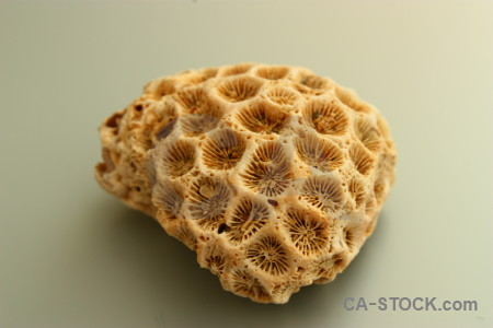 Orange brown coral shell.