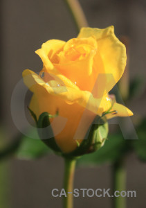 Orange flower plant yellow rose.