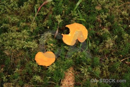Orange green toadstool fungus mushroom.