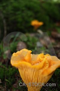 Orange mushroom fungus toadstool green.