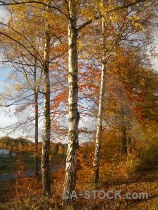 Orange single forest brown tree.