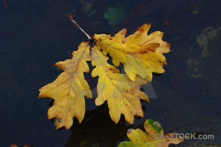 Orange yellow leaf.