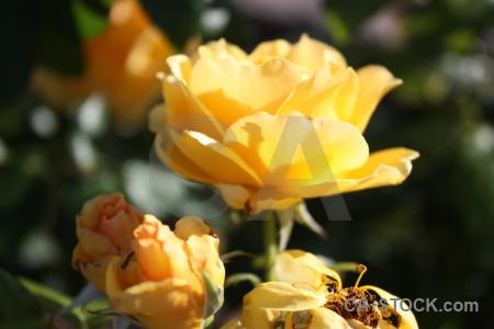 Orange yellow plant brown rose.