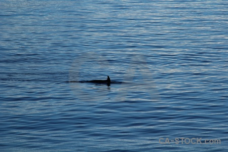 Orca antarctic peninsula water antarctica animal.