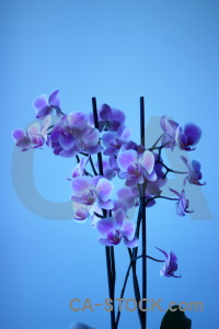 Orchid plant blue flower.