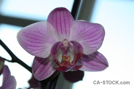 Orchid plant flower purple white.