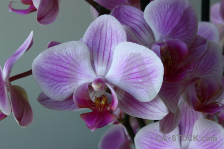 Orchid purple plant flower.
