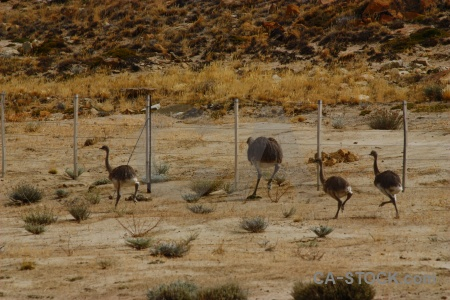 Ostrich south america field animal rhea.