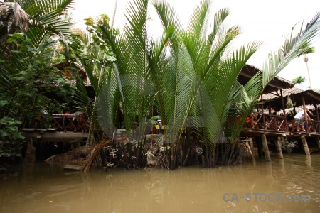 Palm tree water asia con thoi son mekong delta.