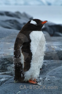 Palmer archipelago gentoo antarctica cruise south pole animal.