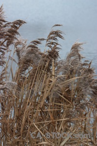 Pampas grass plant brown.