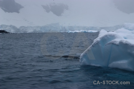 Paradise harbour animal sea iceberg antarctica cruise.