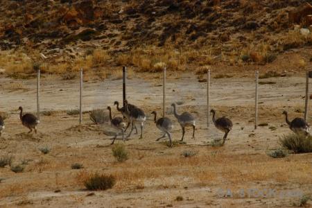 Patagonia animal emu rhea ostrich.