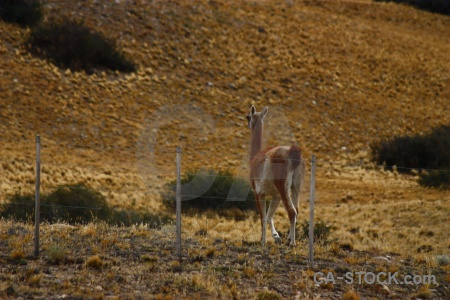 Patagonia deer vicuna fence animal.