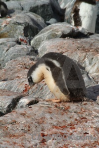 Penguin animal antarctica cruise chick.