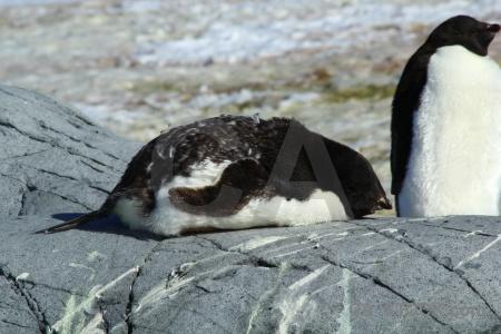 Penguin antarctic peninsula antarctica adelie ice.