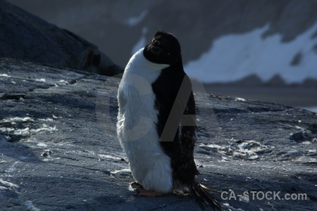 Penguin antarctic peninsula chick adelie antarctica.