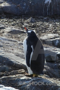 Penguin antarctica cruise animal chick.