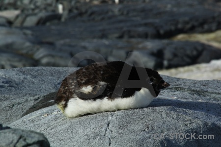 Penguin day 8 adelie chick south pole.