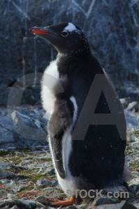 Penguin day 8 south pole animal chick.