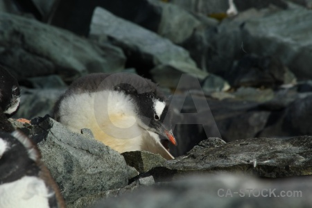 Penguin gentoo rock animal antarctica.