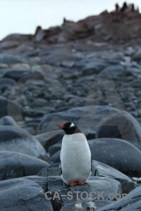 Penguin gentoo rock sky antarctica cruise.