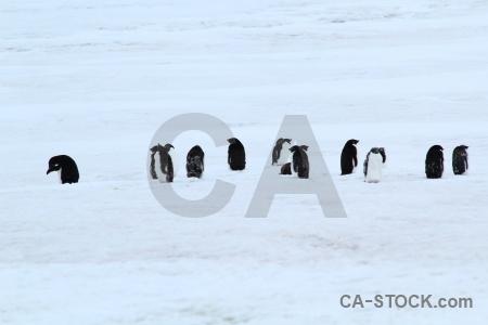 Penguin marguerite bay millerand island day 5 antarctica cruise.