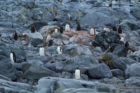 Penguin palmer archipelago south pole antarctic peninsula gentoo.