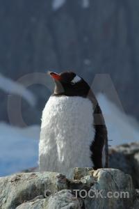 Penguin petermann island rock day 8 snow.