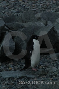 Penguin south pole millerand island bellingshausen sea rock.