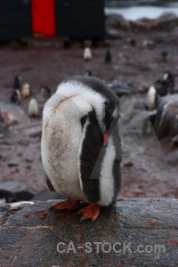 Penguin south pole neumayer channel gentoo antarctica.