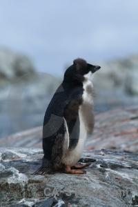 Penguin wilhelm archipelago antarctic peninsula chick petermann island.