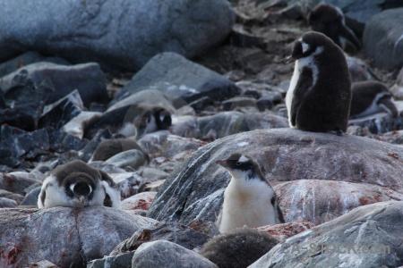 Penguin wilhelm archipelago petermann island south pole day 8.