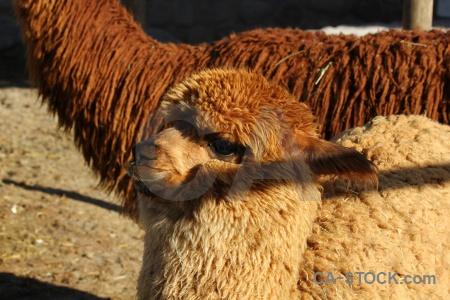 Peru alpaca south america arequipa.