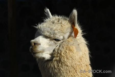 Peru arequipa south america alpaca.