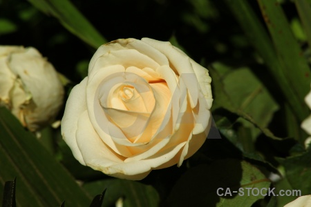 Peru flower rose petal arequipa.