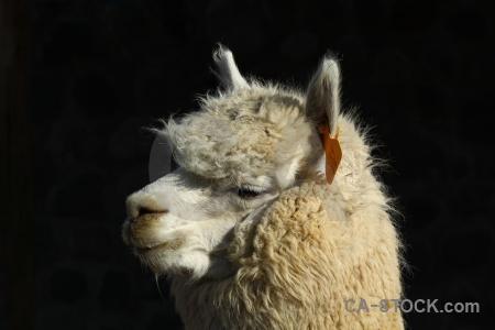 Peru south america arequipa alpaca.