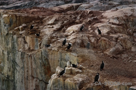Petermann island antarctica cruise antarctic shag cliff bird.