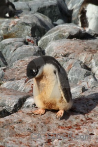 Petermann island feces antarctic peninsula penguin animal.