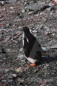 Petermann island penguin animal antarctica cruise rock.