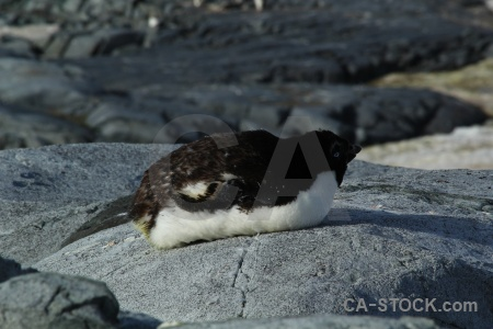 Petermann island penguin south pole adelie antarctic peninsula.