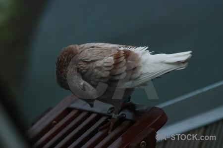 Pigeon animal dove bird.