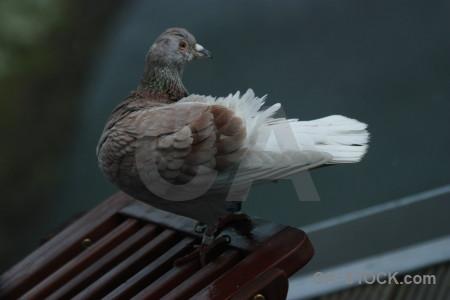Pigeon bird animal dove.