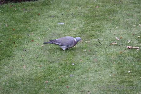 Pigeon bird animal grass dove.
