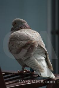 Pigeon bird dove animal.