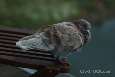 Pigeon bird green animal dove.