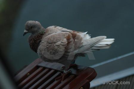 Pigeon dove animal bird.