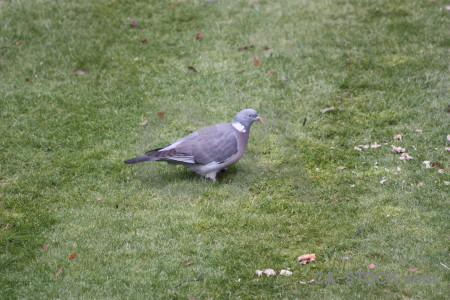 Pigeon dove grass bird animal.